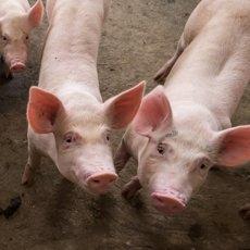 Порода свиней Ландрас: особенности содержания и разведения