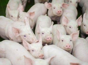 Ориентировочная таблица веса свиней