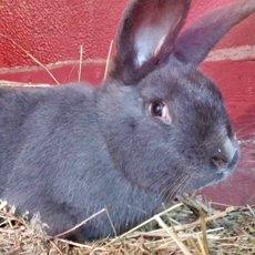 Венский голубой кролик: особенности породы