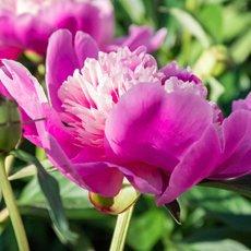 Что делать с пионами после цветения