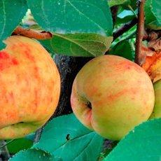 Яблоня «Боровинка»: описание сорта, фото и отзывы