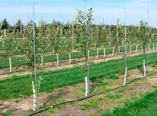 На каком расстоянии друг от друга сажать яблони