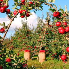 Сорта яблонь для средней полосы России