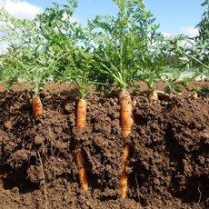 Что посадить после моркови на следующий год в открытом грунте