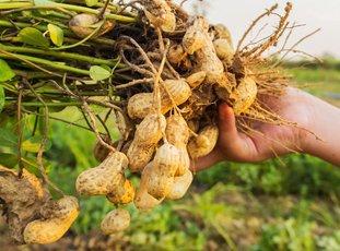 Посадка арахиса