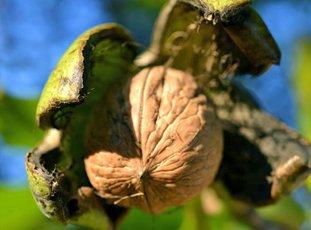 Посадка грецкого ореха