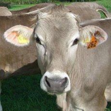 Швицкие коровы