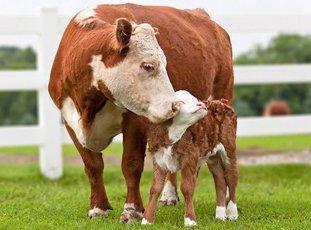 Симментальские коровы