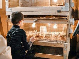 Брудер для цыплят