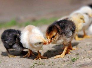 Почему цыплята расклевывают друг друга до крови и что делать в таких ситуациях