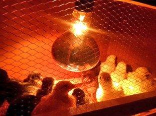 Лампа для цыплят