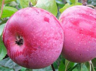 Яблоня «Алеся»: описание сорта, фото и отзывы