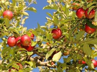 Яблоня «Джонатан»: описание сорта, фото и отзывы