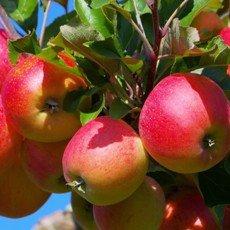Яблоня «Елена»: описание сорта, фото и отзывы