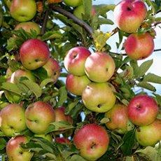 Яблоня «Яблочный спас»: описание сорта, фото и отзывы