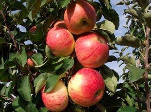 Яблоня колонновидная «Останкино»: описание сорта, фото и отзывы