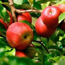 Яблоня «Красное раннее»: описание сорта, фото и отзывы