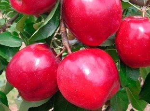 Яблоня «Моди»: описание сорта, фото и отзывы