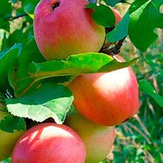 Яблоня «Солнышко»: описание сорта, фото и отзывы