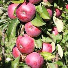Колоновидные сорта яблони