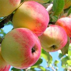 Летние сорта яблок