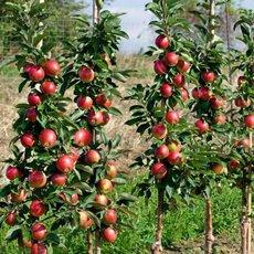 Обрезка колонновидных яблонь