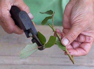 Как вырастить розы из срезанных цветов
