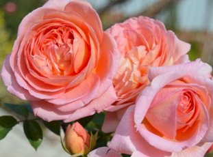 Роза «Абрахам Дерби»: описание сорта, фото и отзывы