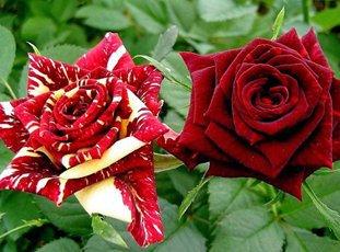 Роза «Абракадабра»: описание сорта, фото и отзывы