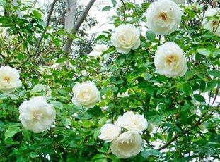 Роза «Айсберг»: описание сорта, фото и отзывы