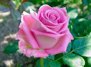 Чайно-гибридная роза «Аква»: описание сорта, фото и отзывы