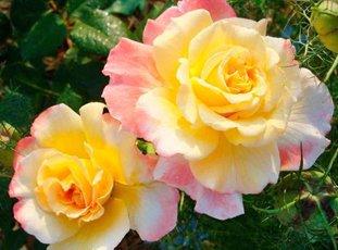 Роза «Акварель»: описание сорта, фото и отзывы