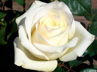 Роза «Анастасия»: описание сорта, фото и отзывы