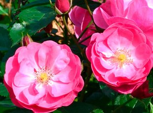 Роза «Ангела»: описание сорта, фото и отзывы