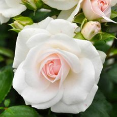 Роза «Аспирин»: описание сорта, фото и отзывы