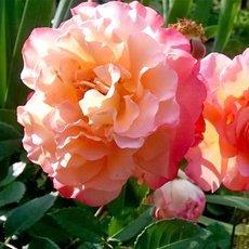 Роза «Августа Луиза»: описание сорта, фото и отзывы