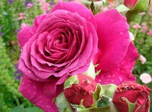 Роза «Биг Перпл»: описание сорта, фото и отзывы