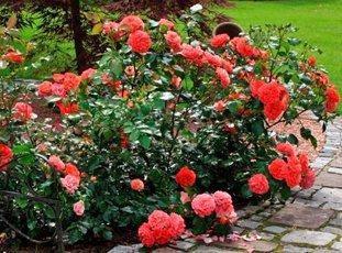 Роза «Братья Гримм»: описание сорта, фото и отзывы