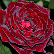 Роза «Черная магия»: описание сорта, фото и отзывы