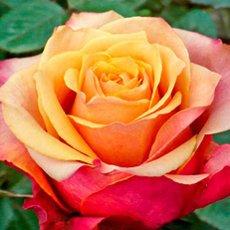 Роза «Черри Бренди»: описание сорта, фото и отзывы