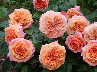 Роза «Чиппендейл»: описание сорта, фото и отзывы