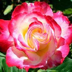 Роза «Дабл Делайт»: описание сорта, фото и отзывы