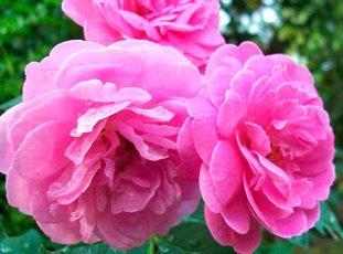 Роза «Дамасская»: описание, фото и отзывы