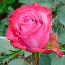 Роза «Дип Перпл»: описание сорта, фото и отзывы