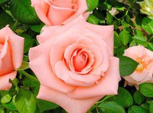 Чайно-гибридная роза «Дольче Вита»: описание сорта, фото и отзывы