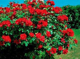 Плетистая роза «Дон Жуан»: описание сорта, фото и отзывы
