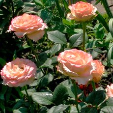 Роза «Дуэт»: описание сорта, фото и отзывы