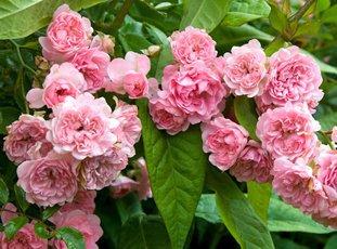 Почвопокровная роза «Фейри»: описание сорта, фото и отзывы