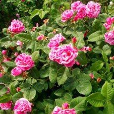 Роза «Фердинанд Пичард»: описание сорта, фото и отзывы