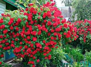 Роза «Фламентанц»: описание сорта, фото и отзывы